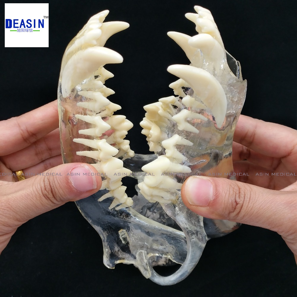 2017 Dog Dentition Model The dog teeth skull jaw bone transparent solution planing teaching Veterinary Animal model specimens animal skeleton anatomy model veterinary medical teaching aids pet dog anatomical large dog skull model gasencx 0074