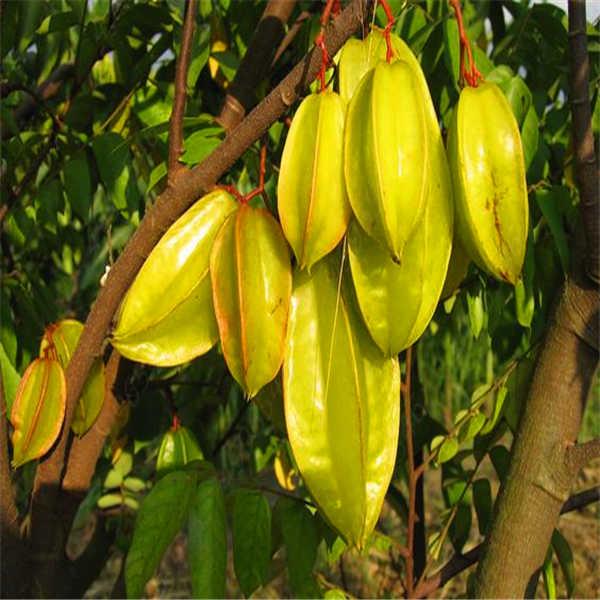 100pcs Organic  Imported Carambola Bonsais Star Fruit Tree Shrub Fruit Edible Starfruit for Home Garden Flower Pot Planters