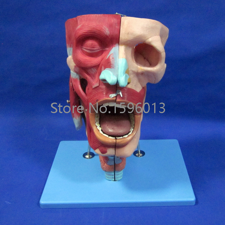 Nasal,Oral,Pharynx and Larynx Cavity Model, Nasal Model with Oral, Pharynx and Larynx ,Respiratory System Model human larynx model advanced anatomical larynx model