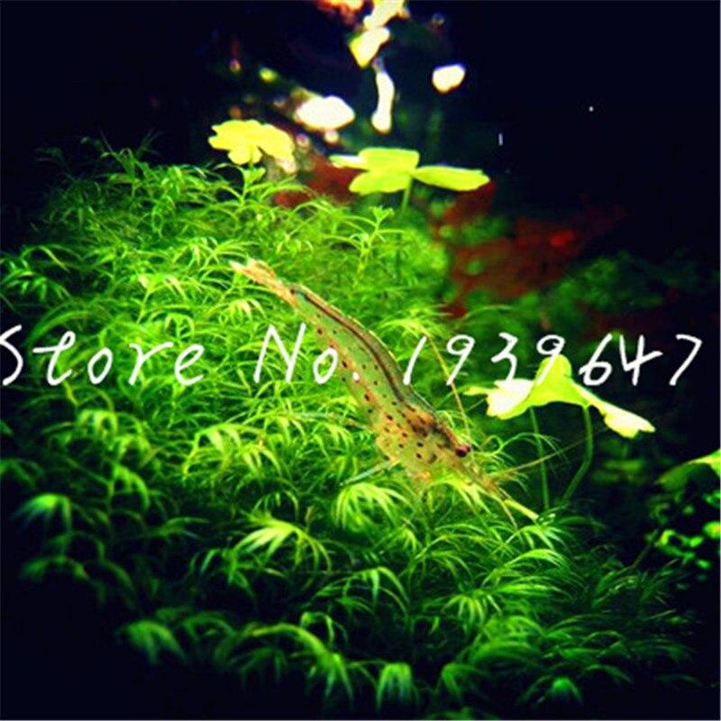 1000 Pcs/bag Hot Pellia Java Fish Tank Aquatic bonsai For Live Fish Moss Fern Aquarium Plant Landscape Decoration Ornament grass