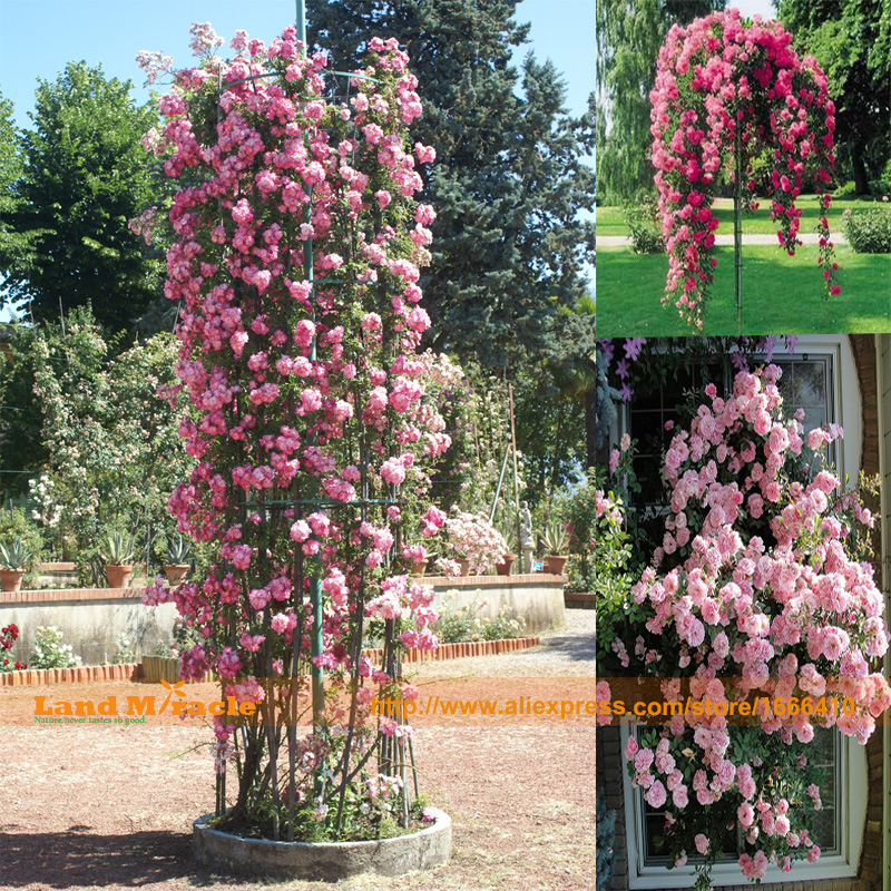 Popular fragrant climbing roses buy cheap fragrant climbing roses lots from china fragrant - Climbing plants that produce fragrant flowers ...