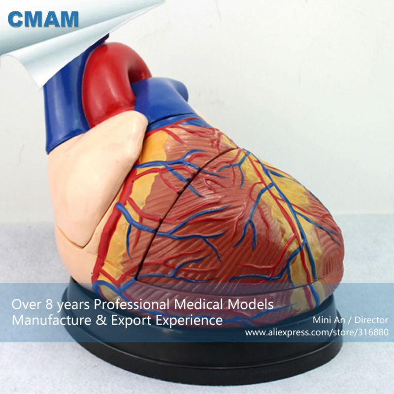 CMAM-HEART10 Oversize Human Heart Anatomy Model, 4 times Full Life Size Enlarge, 3 Parts, Anatomy Models > Heart Models cmam viscera01 human anatomy stomach associated of the upper abdomen model in 6 parts