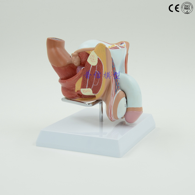 Free shipping&Male division, Male urinary system model, testicular ...