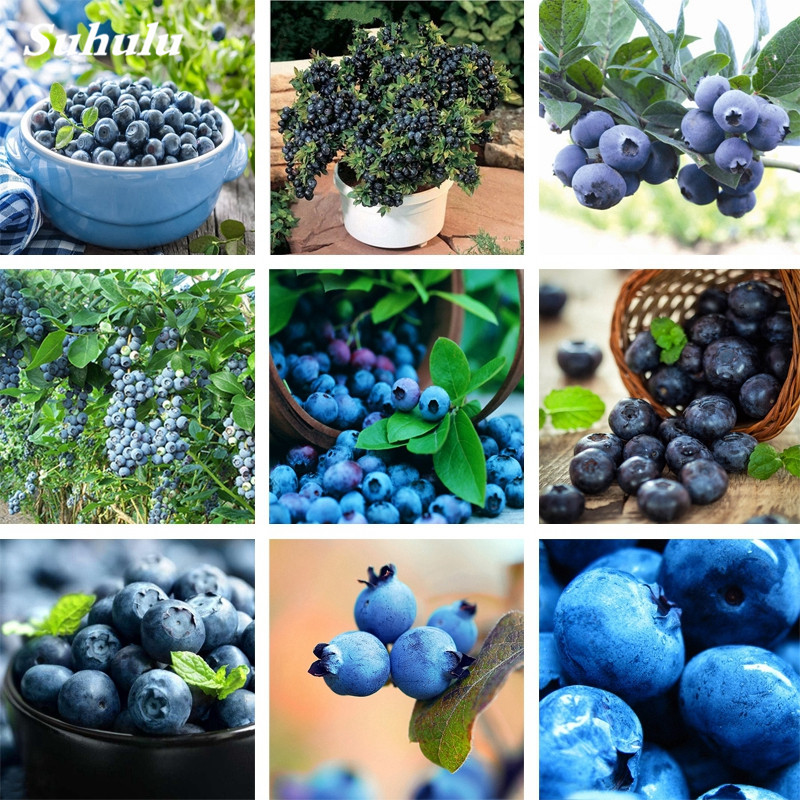 Variety Jersey BLUEBERRY PLANTS Garden Market Place Vaccinium Cor