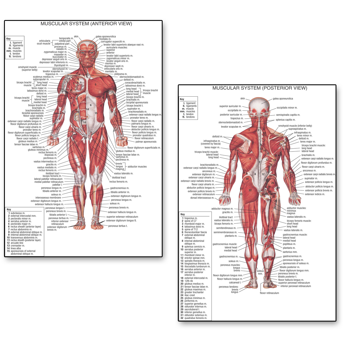 Human Anatomy Posterior Anterior View  Anatomy Muscles System Art Posters Silk Fabric Print For Medical Classroom Study Decor