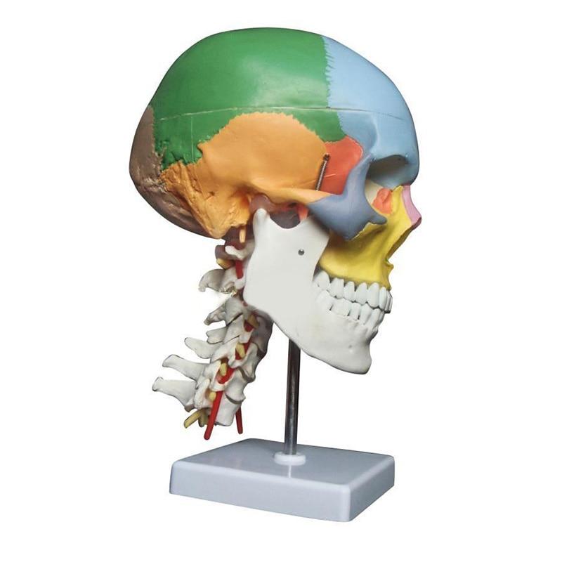 human anatomy skeleton anatomical model for sale skull with colored bones cervical vertebra Beige Sculpture Medical supplies недорго, оригинальная цена