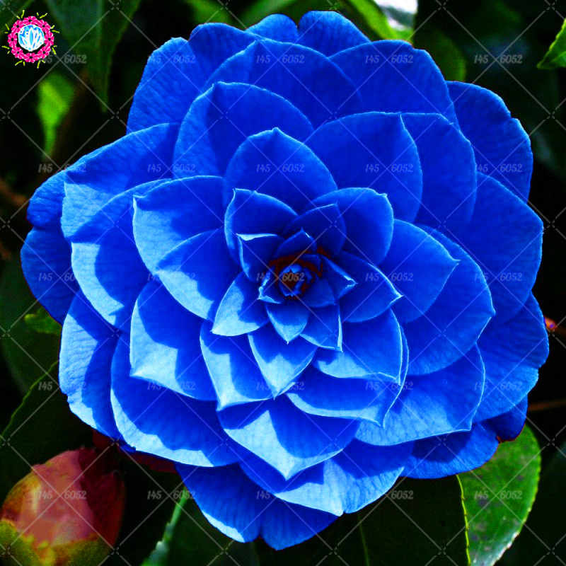 10 Pcs/bag Bonsai Camellia Bunga Langka Biru Galiano Bunga Abadi Umum Camellia Bunga Pot Tanaman untuk Taman Rumah Tanaman