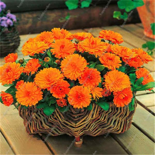 عرض ترويجي كبير! البنفسجي ديزي 100/حقيبة جميلة ديزي بونساي زهرة النبات الطبيعي ديكور حديقة المنزل شحن مجاني