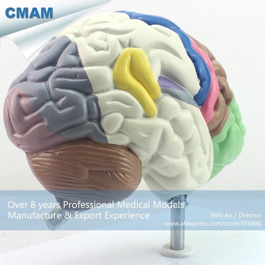 12407 CMAM BRAIN09 Anatomy Human Functional Colored Brain Model ...