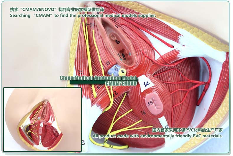 Cmam Female Perineum And Pelvic Neurovascular Anatomy Model1 Part