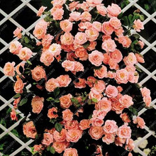 100pcs Mixed 4 Types Of Climbing Rose Seeds