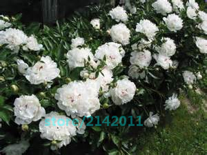 10pcs Festiva Maxima Peony,peony seeds,peony flower,bonsai flower seeds,Chinese national flower,plant for home garden