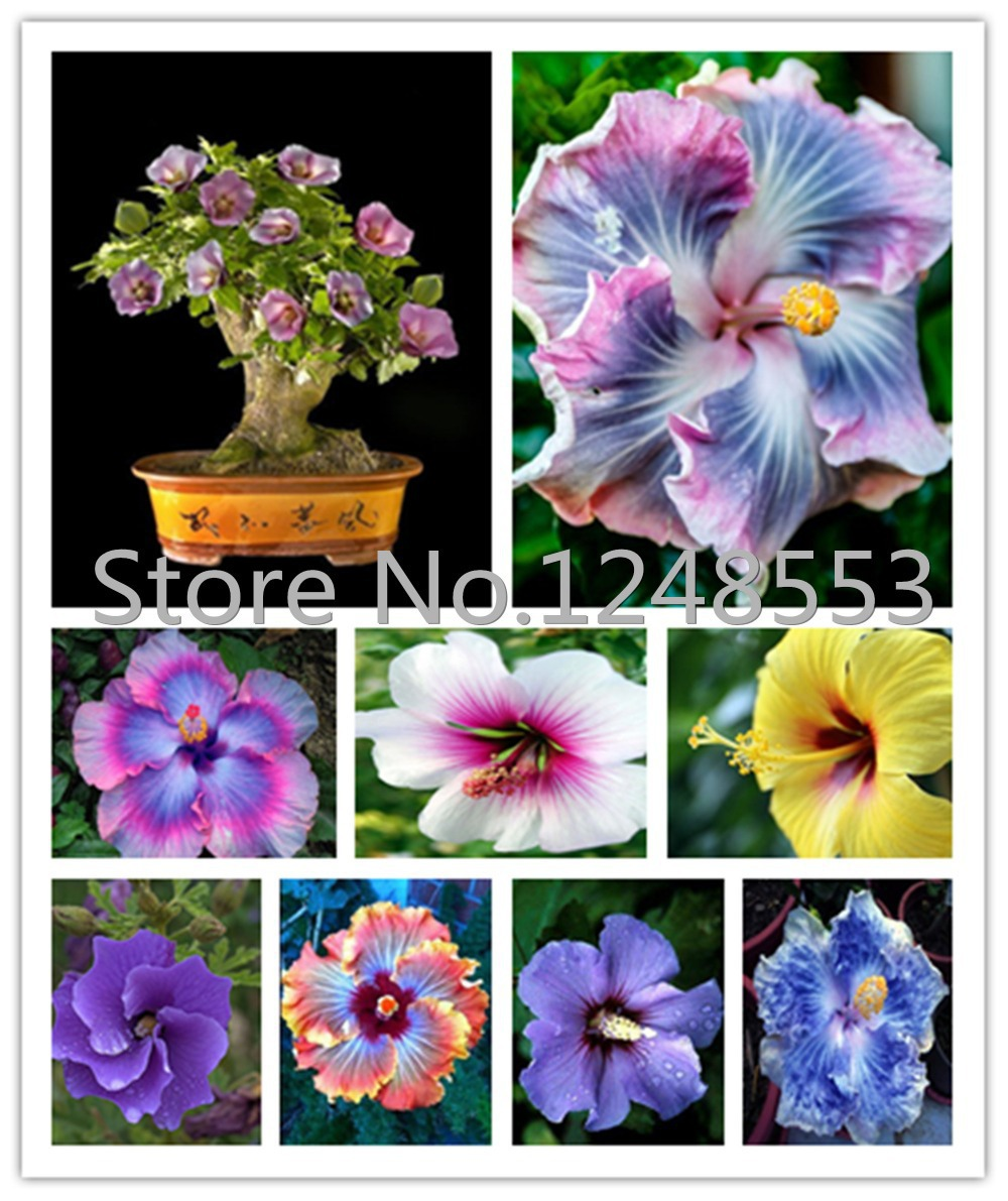 online get cheap hardy hibiscus aliexpress com alibaba group