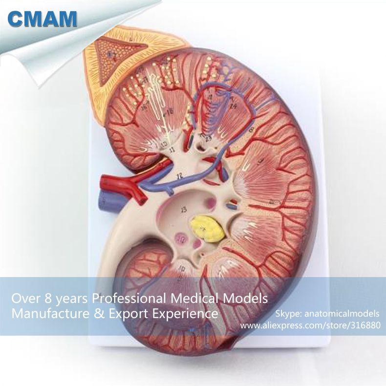 12431 CMAM-KIDNEY02 Oversize Human Kidney Anatomy Model with Stand, 3 Time Enlarge Life Size, Anatomy Models > Urinary Models 12004 cmam a04 anatomy animal cat acupuncture model anatomy models acupuncture models