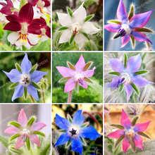 20Pcs Borago Officinalis Bonsai Borage Herb Plant Potted Flowers Sedum Succulents Planting Vegetable for Garden
