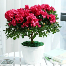 100 pcs/bag bonsai azalea rhododendron azalea flower Bonsai tree seedling  plant home garden easy to Grow