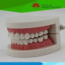 Medical teaching supplies Anatomy biological Teeth care dental teaching model