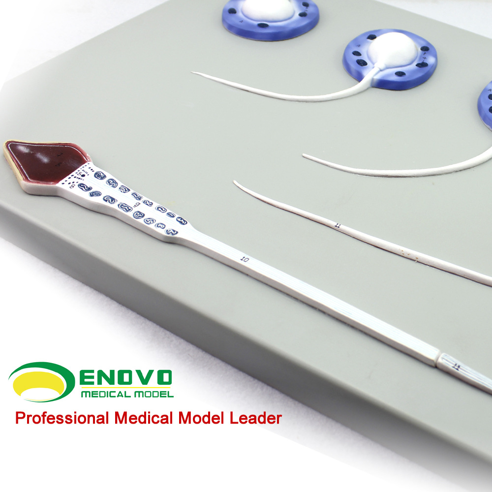 Sperm formation process model Male reproductive system Cell maturation process anatomy model  medical training science
