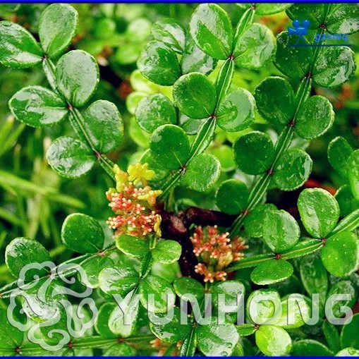 50 PCS بونساي العضوية Zanthoxylum Simulans ، سيشوان الفلفل عشب شجيرة الخضار ، استخدام الطبي ، شحن مجاني الرئيسية حديقة النبات