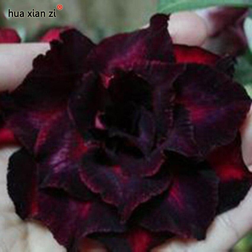 Carmesim Desert Rose Pétalas Duplas Flores Sementes Em Vasos de Flores Sementes Varanda Sementes de Adenium Obesum 1 Partículas/lot