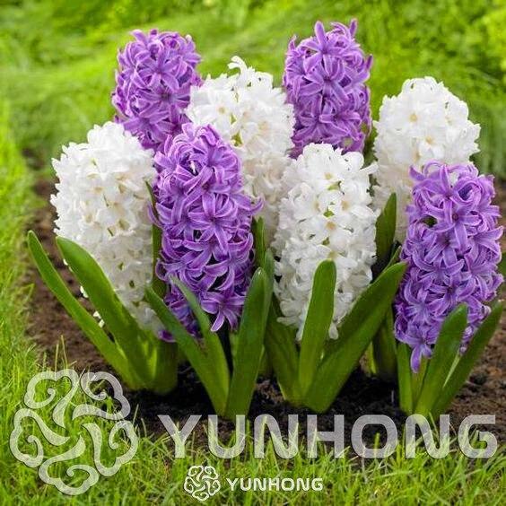 Online shop true hyacinth bulbswater hyacinth flower bulbs true hyacinth bulbswater hyacinth flower bulbsperennial flower bulbsbonsai pot for home garden plants 1 bulb mightylinksfo