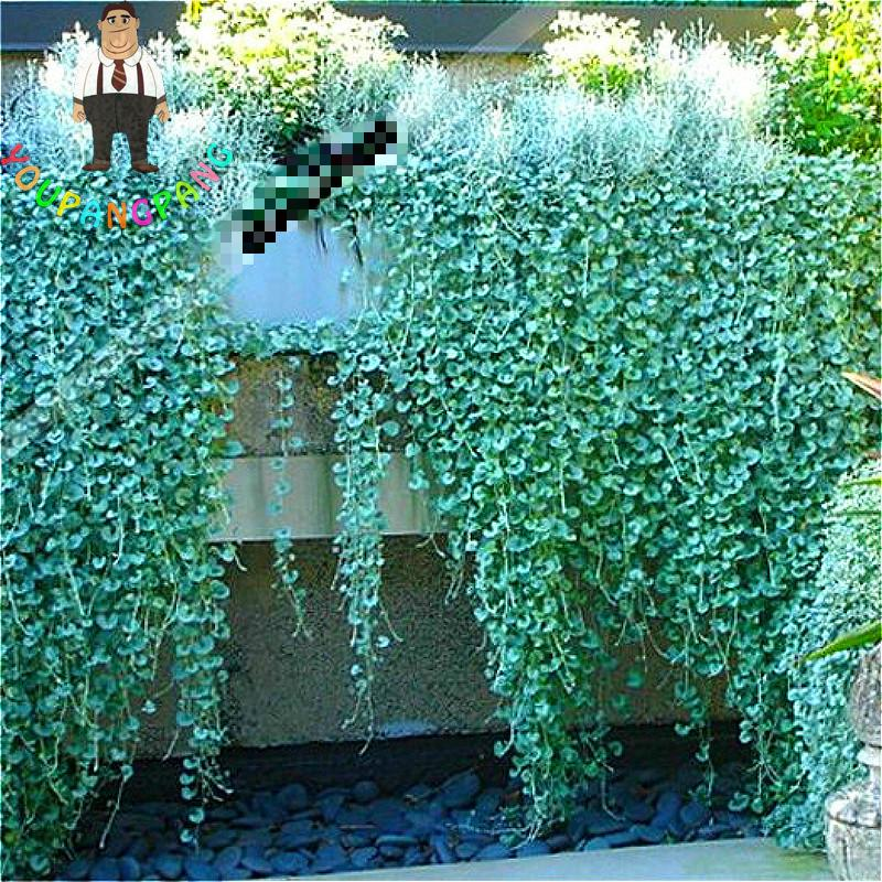 200 Pcs Bag Dichondra Repens Lawn Seed Money Grass Seeds Garden Plants Bonsai Flower Pot For