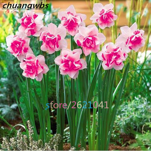 100pcs daffodil flower,daffodil seeds(not daffodil bulbs)bonsai flower seeds aquatic pla ...