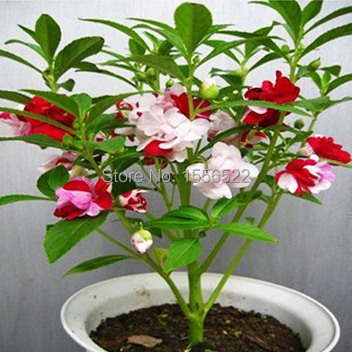 30 Colorful Impatiens Seed Mixing Henna Flower Seeds Garden Balcony