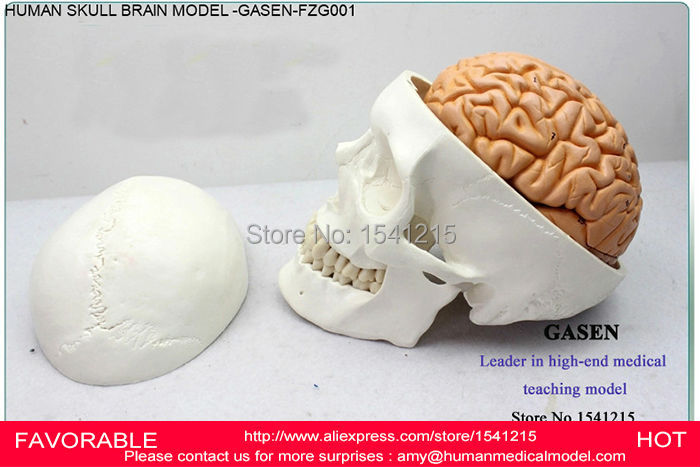BRAIN SKULL BRAIN ANATOMICAL MODEL OF MEDICAL EDUCATION OF MEDICAL MODEL ASSEMBLED MODEL,HEAD ANATOMICAL MODEL-GASEN-FZG001 human head anatomical model brain model medical science teaching supplies brain skull brain anatomical model gasen den029