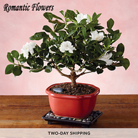 20 particle/Bag  Jasmine Seed Indoor Plants Perennial Flower Seeds