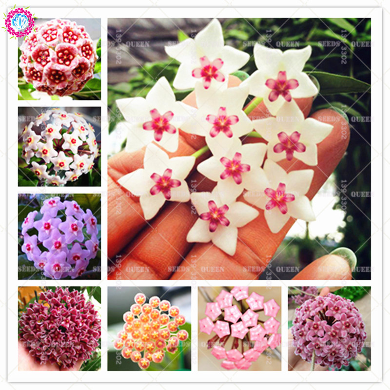 100pcs Hoya Carnosa Beautiful Climbing Ball Orchid Flower Perennial