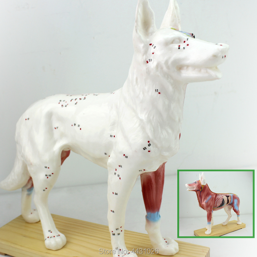 ENOVO Dog acupuncture model animal anatomy model pet model dog acupuncture point model animal skeleton anatomy model veterinary medical teaching aids pet dog anatomical large dog skull model gasencx 0074