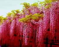 100 Pcs Glicine Bonsai Raro Rosso Wisteria Fiore Bonsai Flores Albero Ornamentali Coperta Piante In Vaso Per La Casa Da Giardino Mini