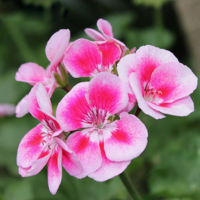 Unique Pink Butterfly Univalve Geranium Seeds Perennial Flower Seeds  Pelargonium Peltatum Seeds For Indoor Rooms 30PCS