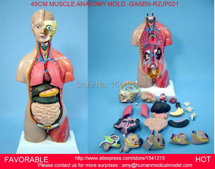 HUMAN TORSO MODEL,FAMALE/MALE TORSO WITH INTERNAL ORGANS,ANATOMICAL ,45CM HALF SKIN SIDE MUSCLE ANATOMY MODEL -GASEN-RZJP021 vivid anatomical skin block model enlarged skin section model human skin model