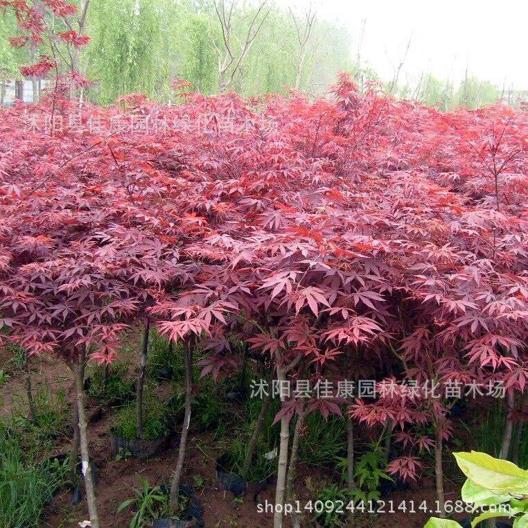 Forêt bonsaï nouvelle exploitation minière authentique érable rouge chinois bonsaï feuilles rouges plume érable chinois érable rouge 200 g/paquet