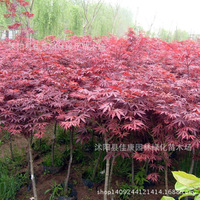 Forest bonsai new mining authentic Chinese red maple bonsai red leaves feather maple Chinese red maple tree 200g/pack