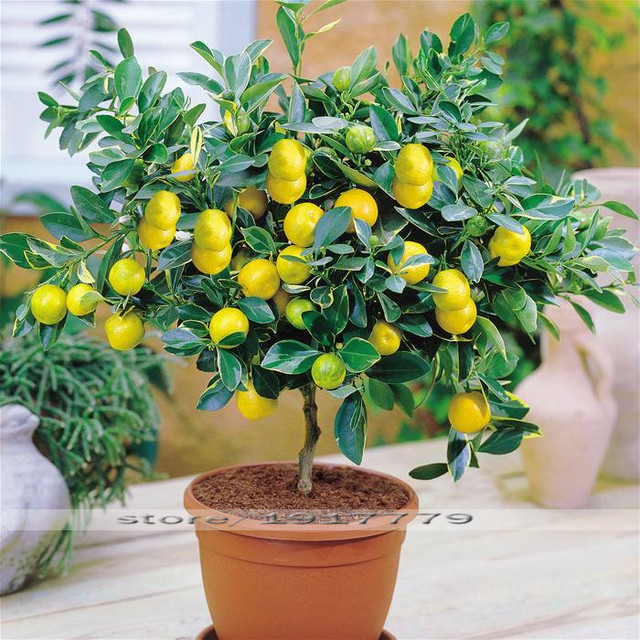 Lemon tree Seeds Bonsai fruit tree seeds. organic yellow Lemon ...