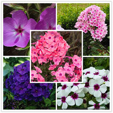 Hot Sale!!! 200PCS unique different colors phlox flowers potted bonsai flores home garden 100% Genuine Organic Blooming plant(China)