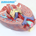 Medical anatomical model of human laryngeal cardio respiratory cardiac thoracic surgery ENT model
