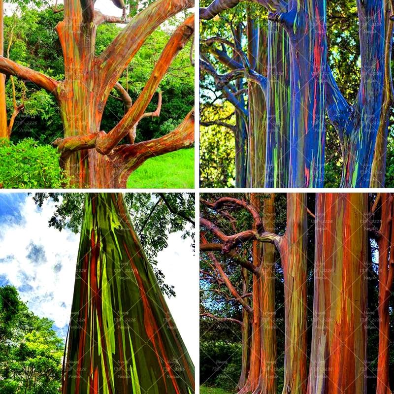 ما هي أجمل شجرة في العالم ؟ 200PCS-Rainbow-Eucalyptus-bonsai-plant-Tropical-Tree-plant-Home-Decoration-Beautiful-Eucalyptus-Tree-Plant-For-Garden