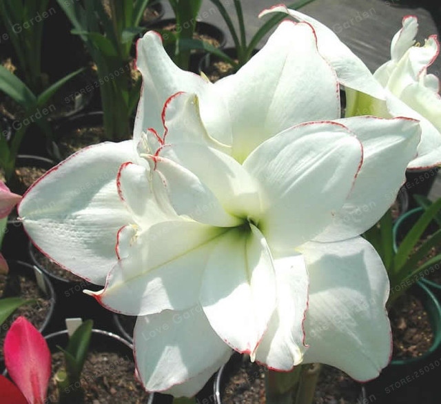 Barbados Bulb Lily Flower Seeds (500 Pieces)