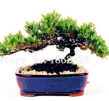 50 pcs Juniper bonsai tree potted flowers office bonsai purify the air absorb harmful gases,Natural Growth Plant For Home Garden