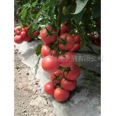 Pink Tomato Seeds Caramel Anti Ty Virus 100seed Organic Vegetables