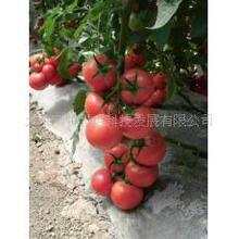 Pink Tomato Seeds Caramel Anti- Ty Virus 100seed Organic Vegetables