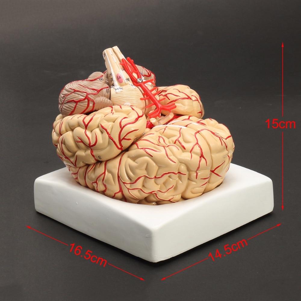 Ofis ve Okul Malzemeleri'ten Tıbbi Bilim'de Insan Yaşam Boyutu beyin anatomisi modeli Tıbbi Seti 8 Parça Beyin Beyin Arter Modeli Anatomi'da  Grup 3