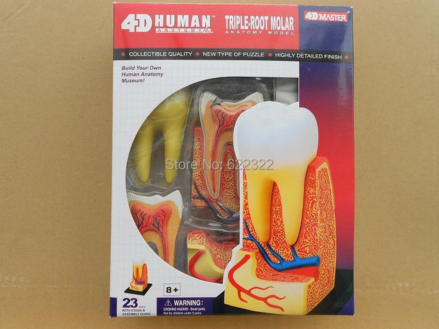 Dentist Lab Dental Demonstration 4d Puzzle Human Triple Root Molar