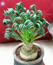 200pcs Succulent Helix Spring Grass Seeds Albuca namaquensis Baker Real Indoor Bonsai Plants Seed for home garden Best packaging