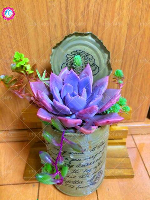 Misty Violet Succulent Seeds (1000 Pieces)