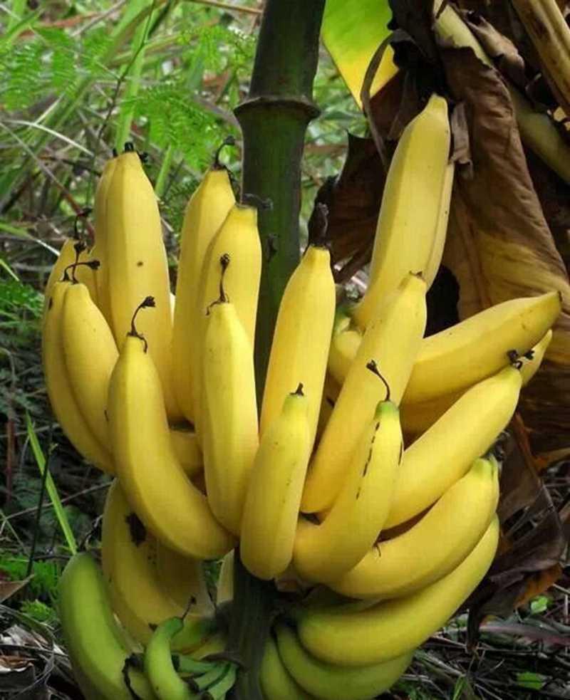 50 шт./пакет банан Дыня растения красивый сад бонсай горшечные Съедобные золотые удлиненные фрукты для домашнего садового декора легко выращивать